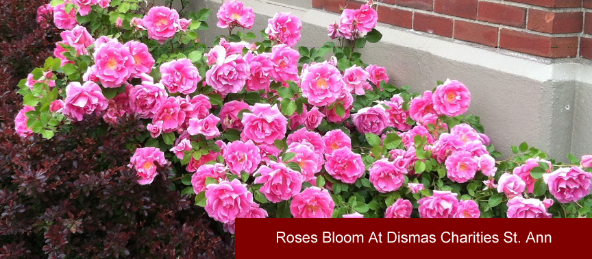 Roses Bloom At Dismas Charities St. Ann